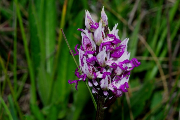 Orchis_simia.jpg