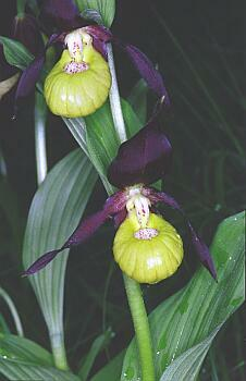 Cypripedium calceolus / Frauenschuh